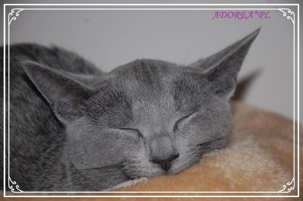 O Rasie Adorea Pl Hodowla Kotów Rosyjskich Niebieskich