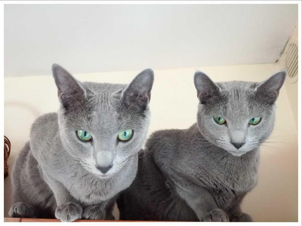 koty rosyjskie niebieskie i abisyńskie adorea hodowla
