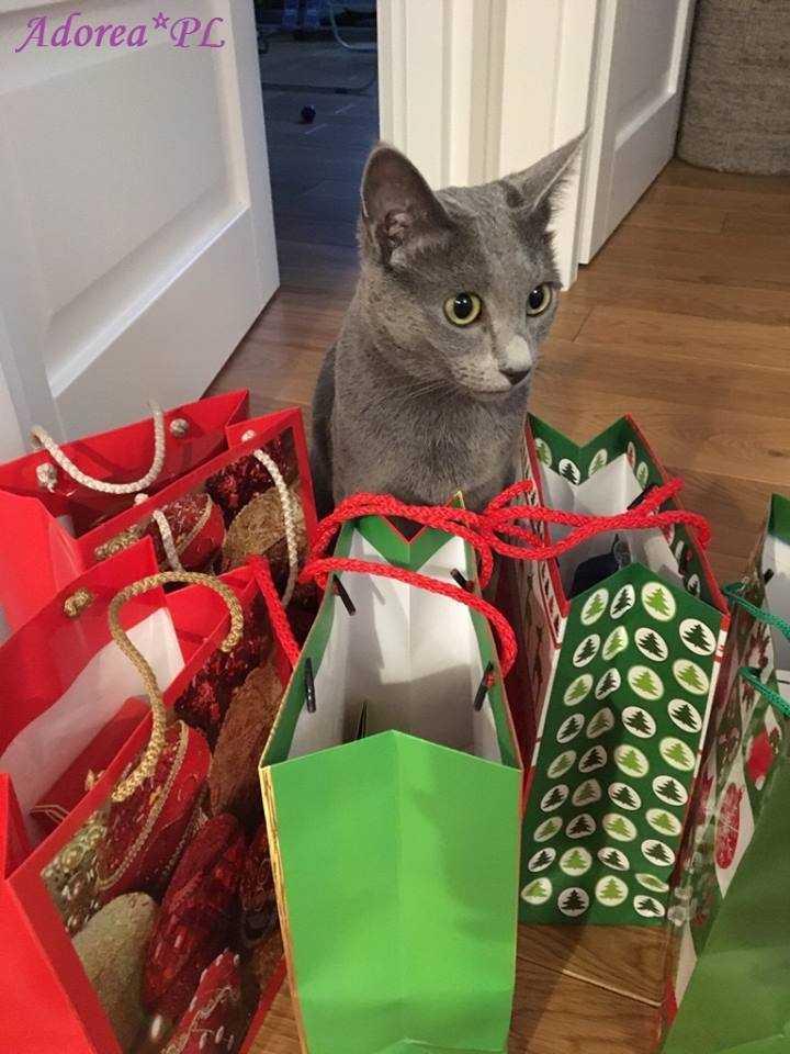 koty rosyjskie niebieskie do adopcji