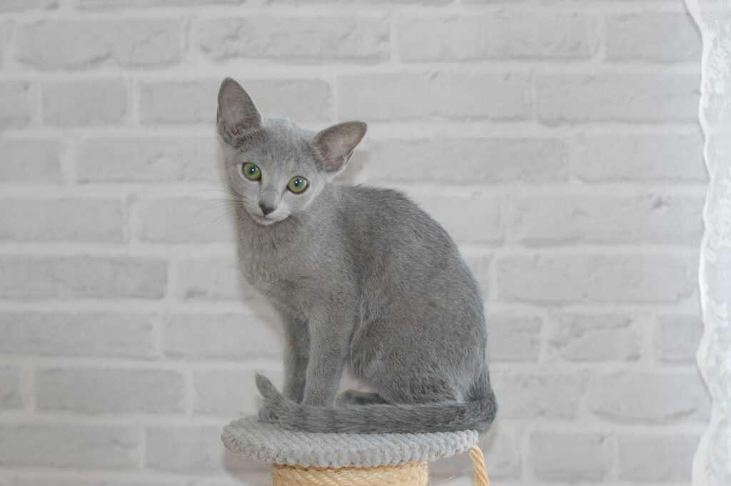 koty rosyjskie niebieskie