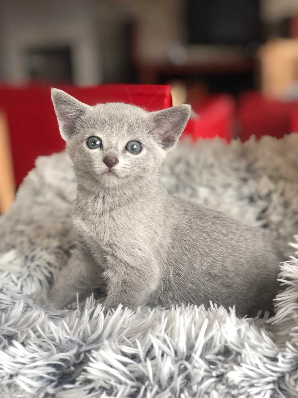Kot abisyński oddam